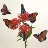 Flying Around. Monarch butterflies around pentas stock photo