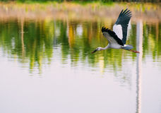 Flying Asian Openbill Stock Images