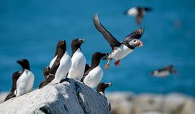 Flying Atlantic Puffin. On the Island stock photography