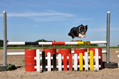 Flying Australian Shepherd Dog Royalty Free Stock Photography