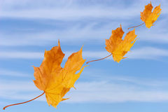 Flying autumn leaves Royalty Free Stock Photography