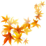 Flying autumn leaves. Autumn maple leaves falling and spinning  on white background Stock Photos