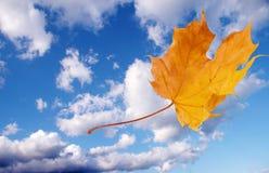 Flying autumn maple leaf Royalty Free Stock Image