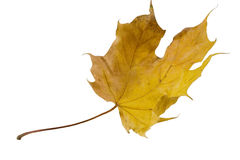 Flying autumn maple leaf. (isolated on white Royalty Free Stock Photos