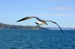 Flying back. Marine bird flying back to her nest Stock Photography