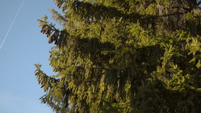 Flying on the background of fir stock video footage