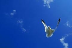 Flying Backwards. A seagull flying backwards Royalty Free Stock Photo