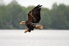 Flying bald american eagle Stock Photos