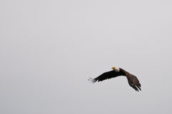 Flying bald eagle. Soaring in the sky Stock Photo