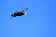 Flying bald eagle. The flying bald eagle in the blue sky Royalty Free Stock Image