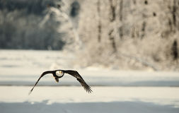 Flying bald eagle. Against snow-covered trees and snow mountains. . Alaska.Chilkat bald eagle preserve   USA Stock Photo