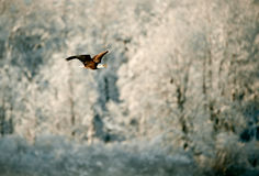 Flying Bald eagle. A flying Bald eagle against snow-covered mountains.The Chilkat Valley under a covering of snow, with mountains behind. Chilkat River .Alaska Stock Photo