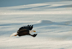 Flying Bald eagle. A flying Bald eagle against snow-covered mountains.The Chilkat Valley under a covering of snow, with mountains behind. Chilkat River .Alaska Royalty Free Stock Photos