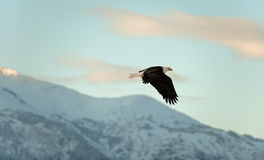 Flying Bald eagle. A flying Bald eagle against snow-covered mountains.The Chilkat Valley under a covering of snow, with mountains behind. Chilkat River .Alaska Royalty Free Stock Image