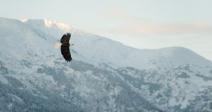 Flying Bald eagle. A flying Bald eagle against snow-covered mountains.The Chilkat Valley under a covering of snow, with mountains behind. Chilkat River .Alaska Stock Images