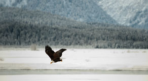 Flying Bald eagle. A flying Bald eagle against snow-covered mountains.The Chilkat Valley under a covering of snow, with mountains behind. Chilkat River .Alaska Royalty Free Stock Photography
