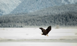 Flying Bald eagle. Royalty Free Stock Photos