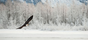 Flying Bald eagle. Stock Image