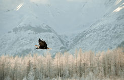 Flying Bald eagle. Royalty Free Stock Images