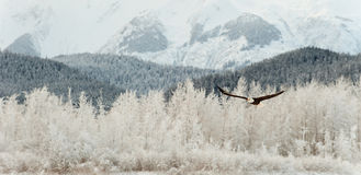 Flying Bald eagle. A flying Bald eagle against snow-covered mountains.The Chilkat Valley under a covering of snow, with mountains behind. Chilkat River .Alaska Stock Image