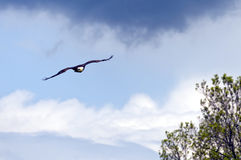 Flying Bald Eagle. Bald eagle flying with a blue sky in the background Royalty Free Stock Photos