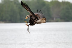 Flying bald eagle. American bald eagle flying over the water,just about to land on the water surface Royalty Free Stock Photo