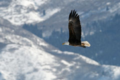 Flying bald eagle. A bald eagle flying over the Farmington Bar in Utah. In Feburary many bald eagles feed here Royalty Free Stock Photography