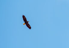 Flying bald eagle. On blue sky Royalty Free Stock Photos