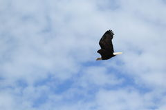 Flying bald eagle. In the cloudy sky Royalty Free Stock Image