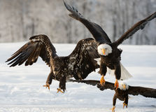 Flying bald eagle Stock Photos
