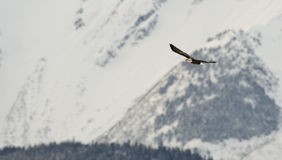 Flying bald eagle Stock Photography