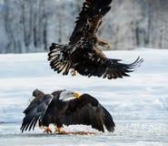 Flying Bald Eagle. Bald Eagle  Haliaeetus leucocephalus washingtoniensis  in flight. Alaska in snow Stock Images