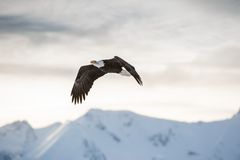 Flying bald eagle ( Haliaeetus leucocephalus washingtoniensis ) over snow-covered mountains. Stock Photos