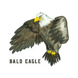 Flying Bald eagle Royalty Free Stock Images