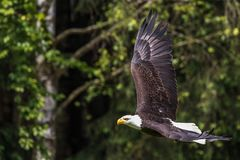 Flying bald eagle lat. haliaeetus leucocephalus in a park stock image