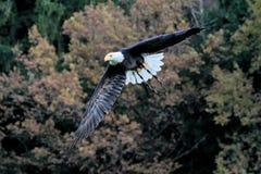 Flying bald eagle lat. haliaeetus leucocephalus in a park stock photos