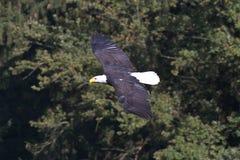 Flying bald eagle lat. haliaeetus leucocephalus in a park royalty free stock photography