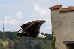 Flying bald eagle lat. haliaeetus leucocephalus in a park royalty free stock images