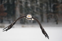 Flying bald eagle - Majestic symbol of the USA Stock Image