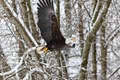 Flying Bald Eagle. At Vancouver BC Canada Stock Image