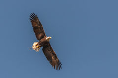 Flying bald eagle view Stock Image