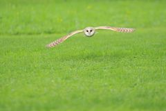 Flying barn owl stock images