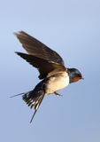 Flying Barn Swallow Stock Photo