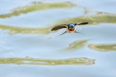 Flying Barn swallow. A Barn swallow is flying. Scientific name: Hirundo rustica Stock Image