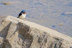 Barn swallow. A Barn swallow is standing on rock. Scientific name: Hirundo rustica Stock Photo