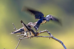 Flying Barn swallow feeding juveniles Stock Photography