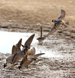 Flying Barn Swallows In A Puddle Royalty Free Stock Photography