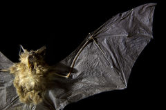 Flying bat Royalty Free Stock Photos
