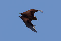 Flying Bat. Huge bat in flight, Sri Lanka Royalty Free Stock Photo