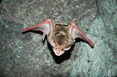 Flying bat in Azokh cave Stock Photos